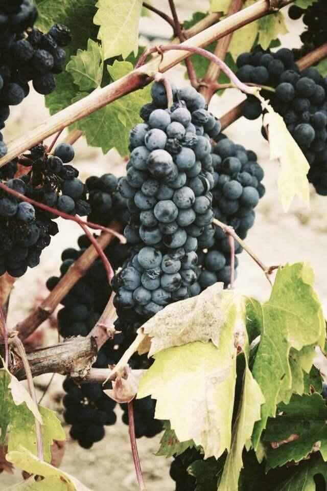 Het sap van de druiventros
