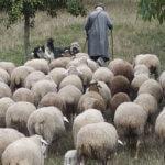 De stem van de Herder
